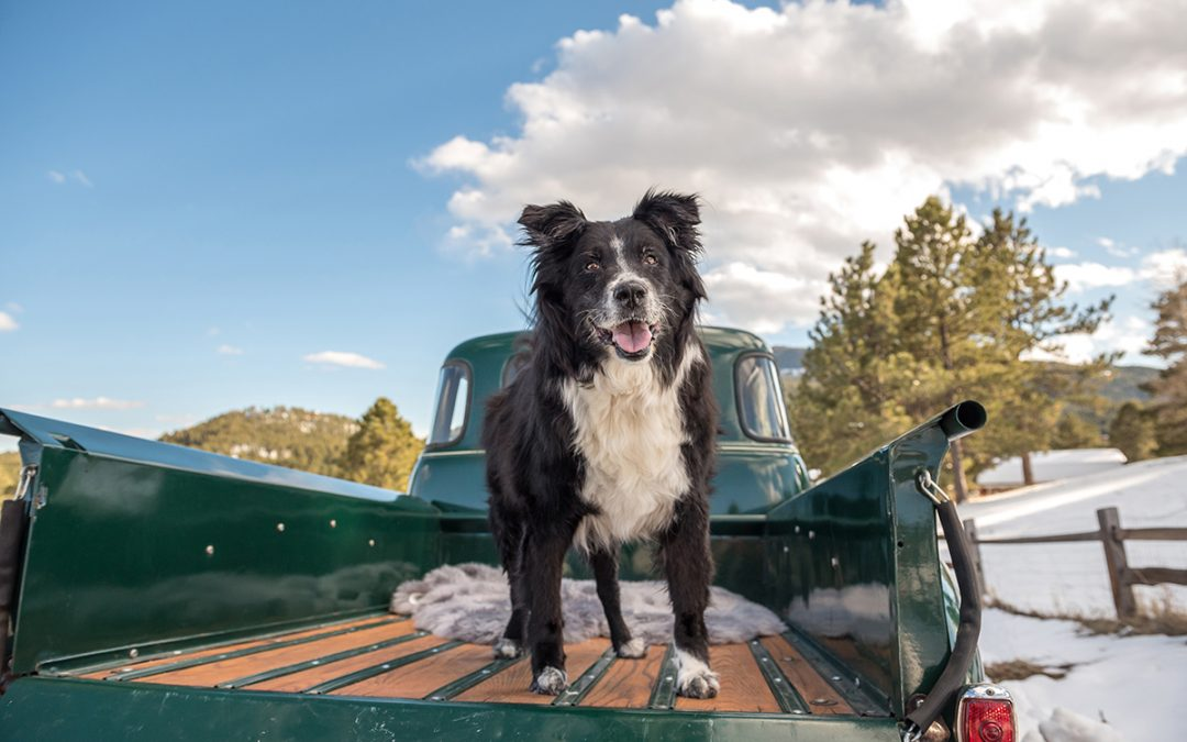 Great Pyrenees mix dog stands in truck bed of 1952 Chevy Truck