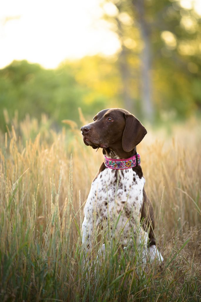 German Shorthair Pointer dog