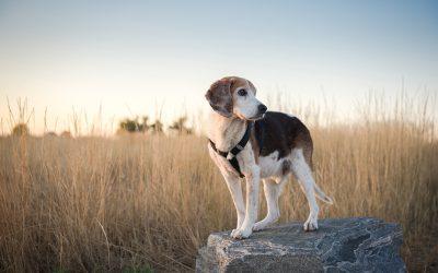 Jax & Rocky: Colorado Beagle Rescue