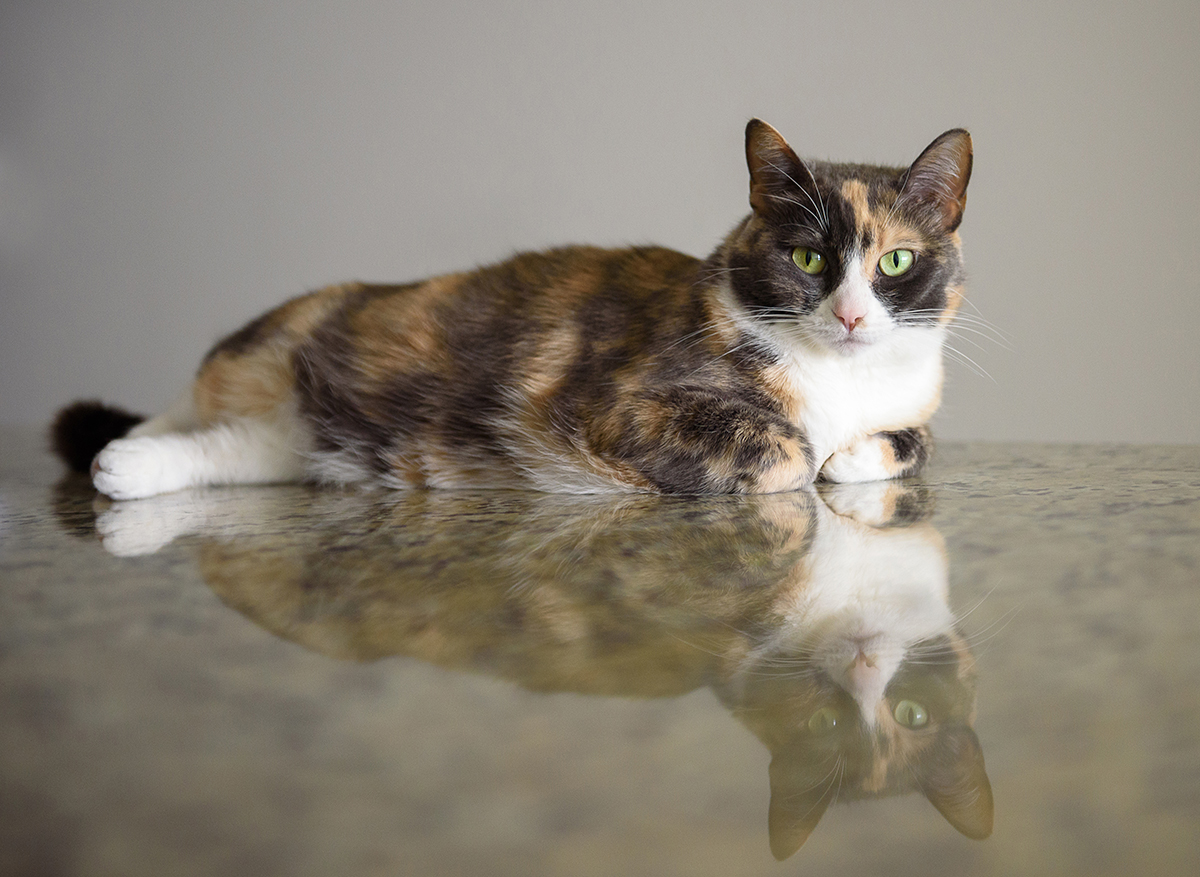 Calico cat on reflective kitchen counter