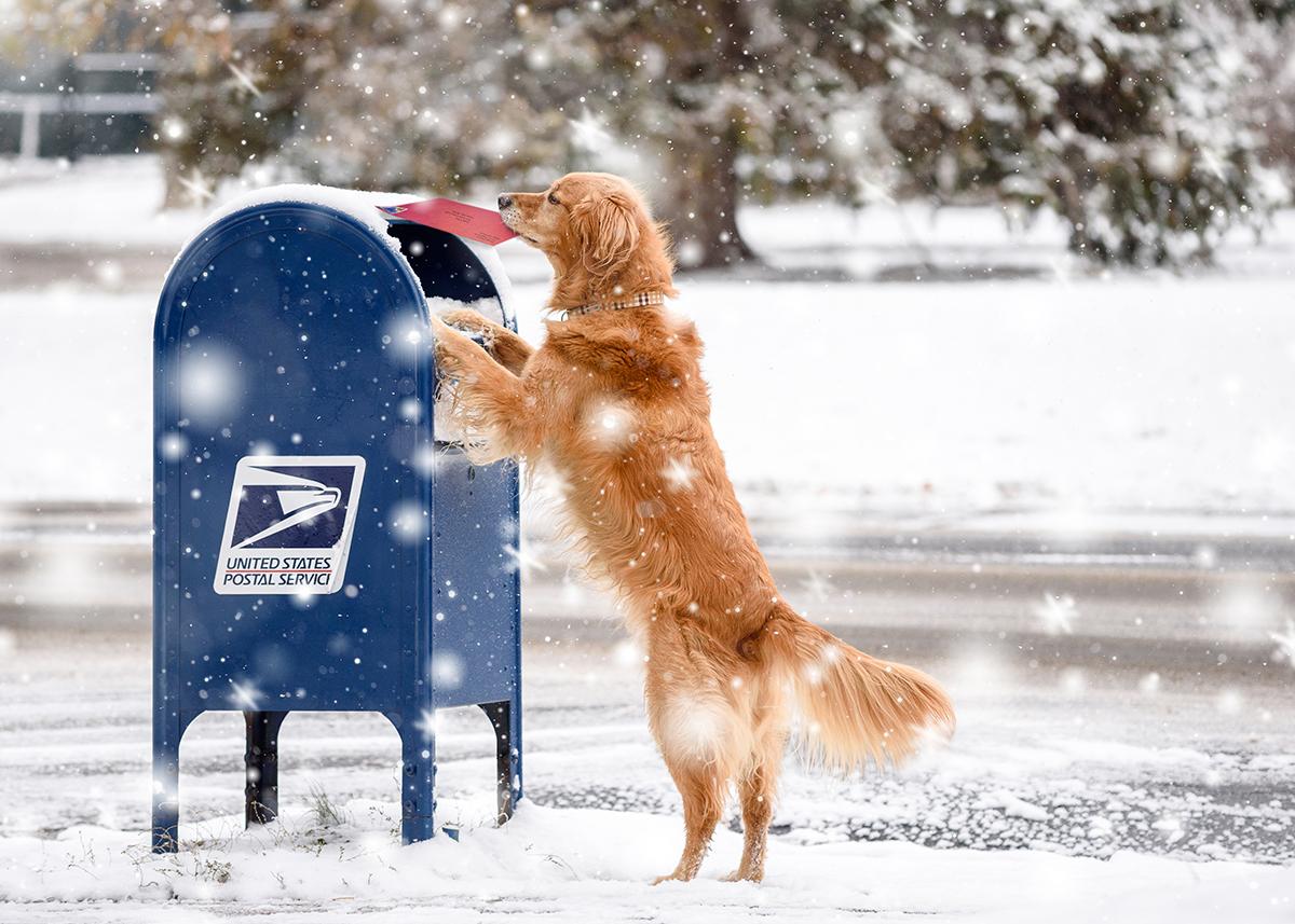 Golden Retriever mailing letter at Blue Mailbox