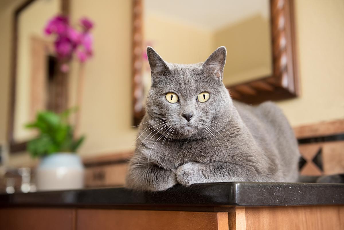 Gray cat sitting on bathroom sink