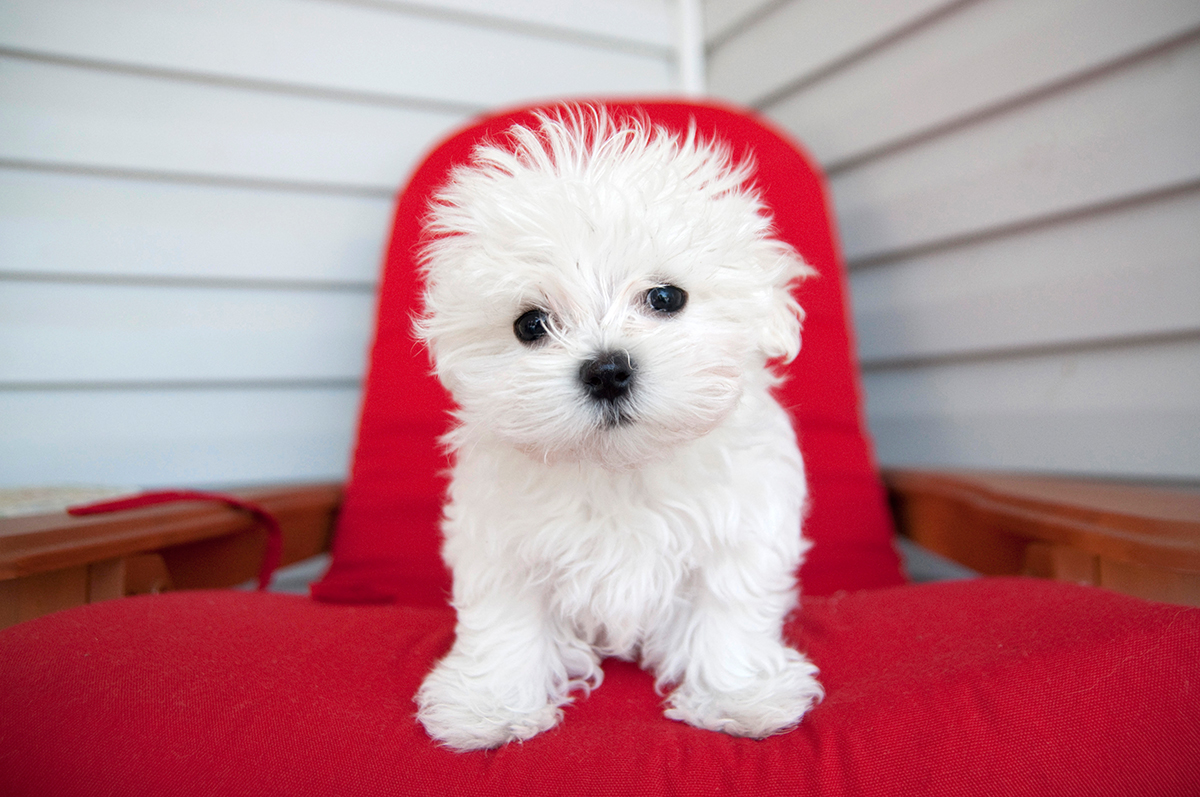 Maltese Puppy on red chair