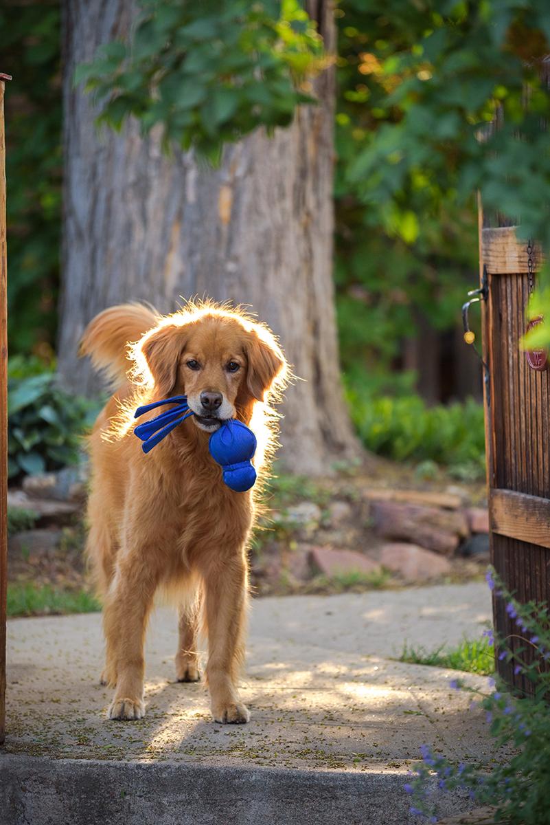 Golden Retriever with Kong Wubba toy