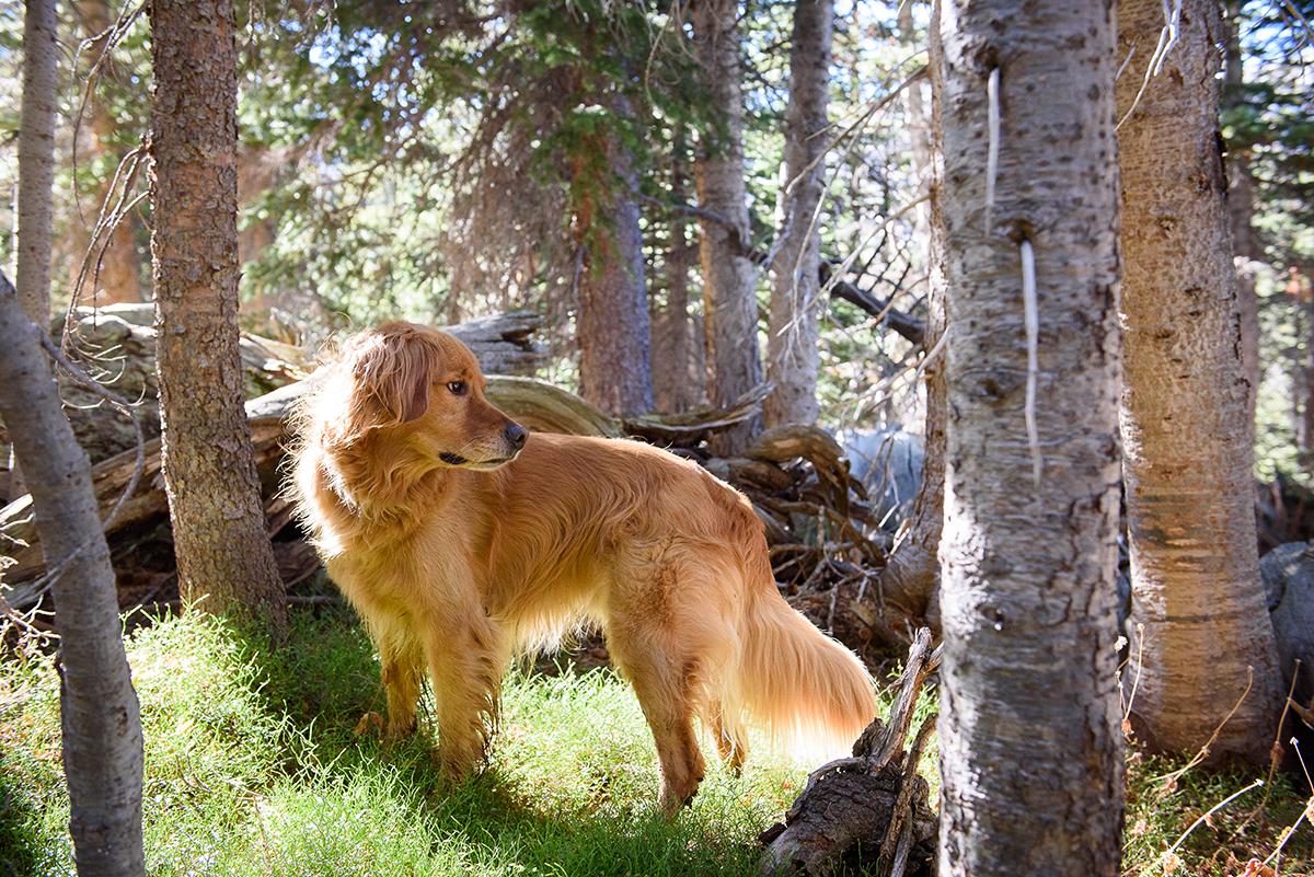 Golden Retriever by aspen trees