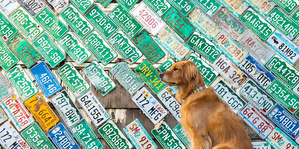 Golden Retriever by Colorado license plates