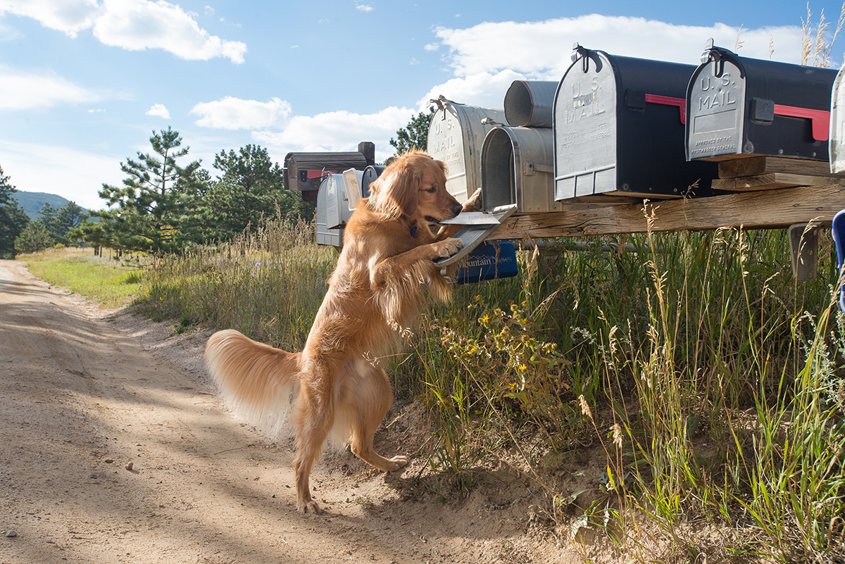 Golden Retriever mailing a card in rural mailboxes