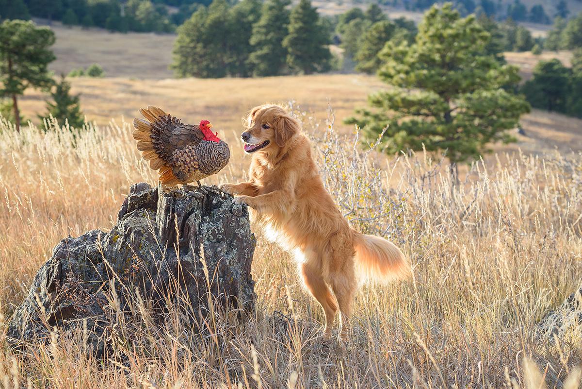 Golden Retriever with turkey
