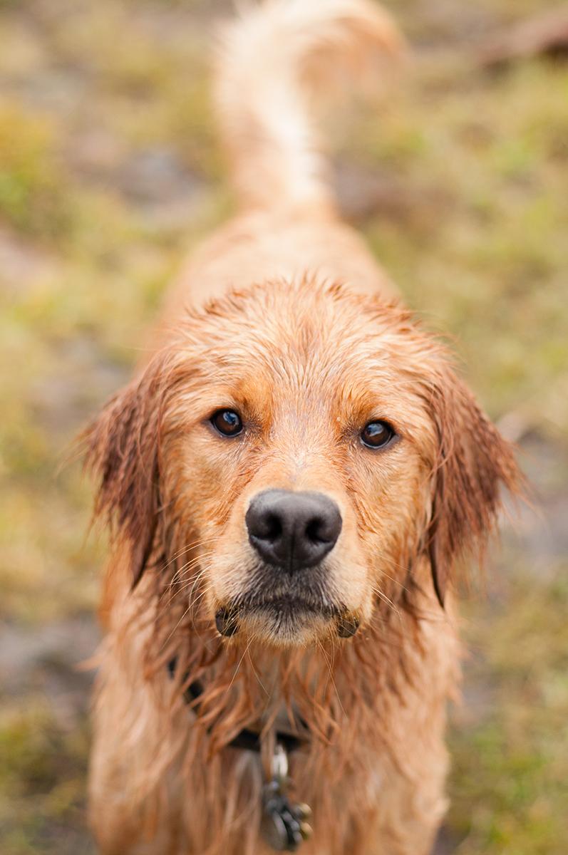 Wet Golden Retriever after swimming