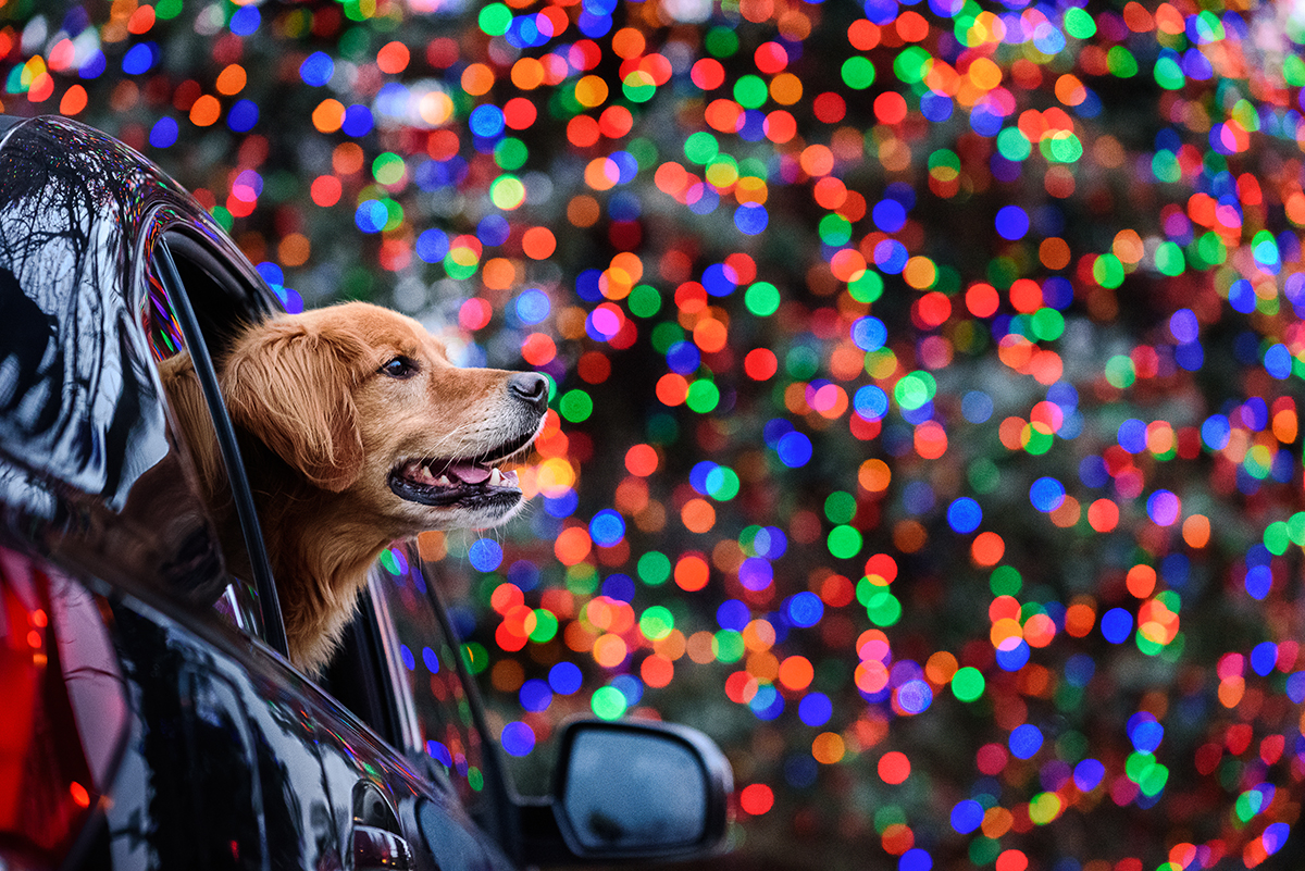 Golden Retriever in car with Christmas lights