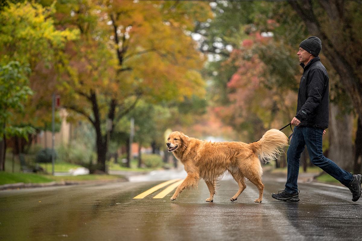 Golden Retriever and man walking across street in rain