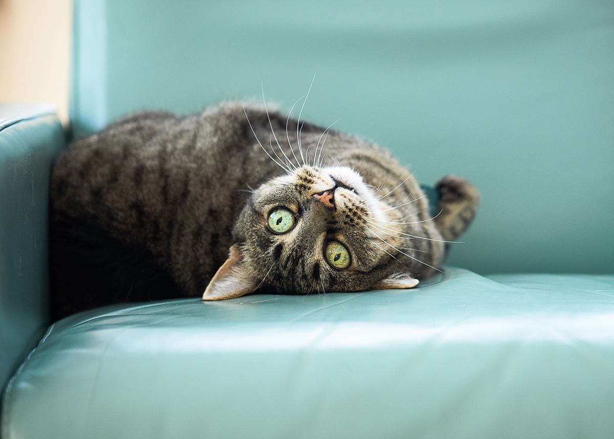 Tabby cat looking upside down