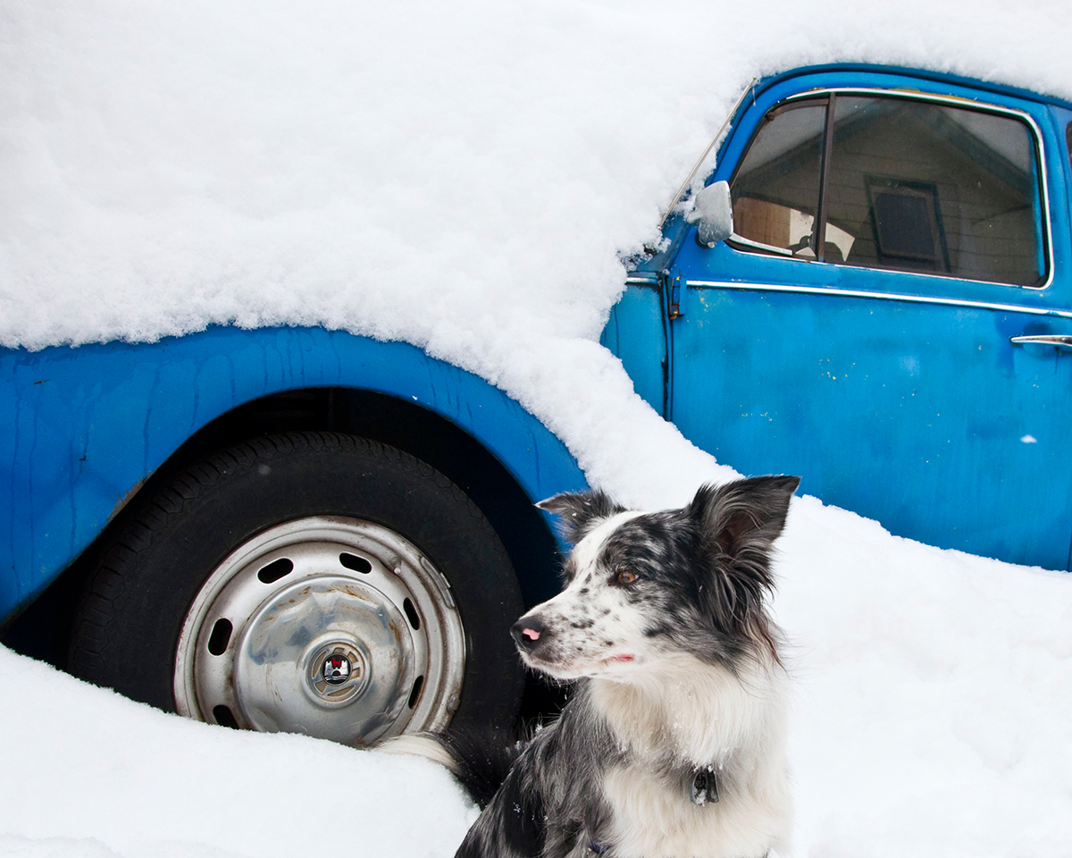 Border collie in snow by blue VW bug
