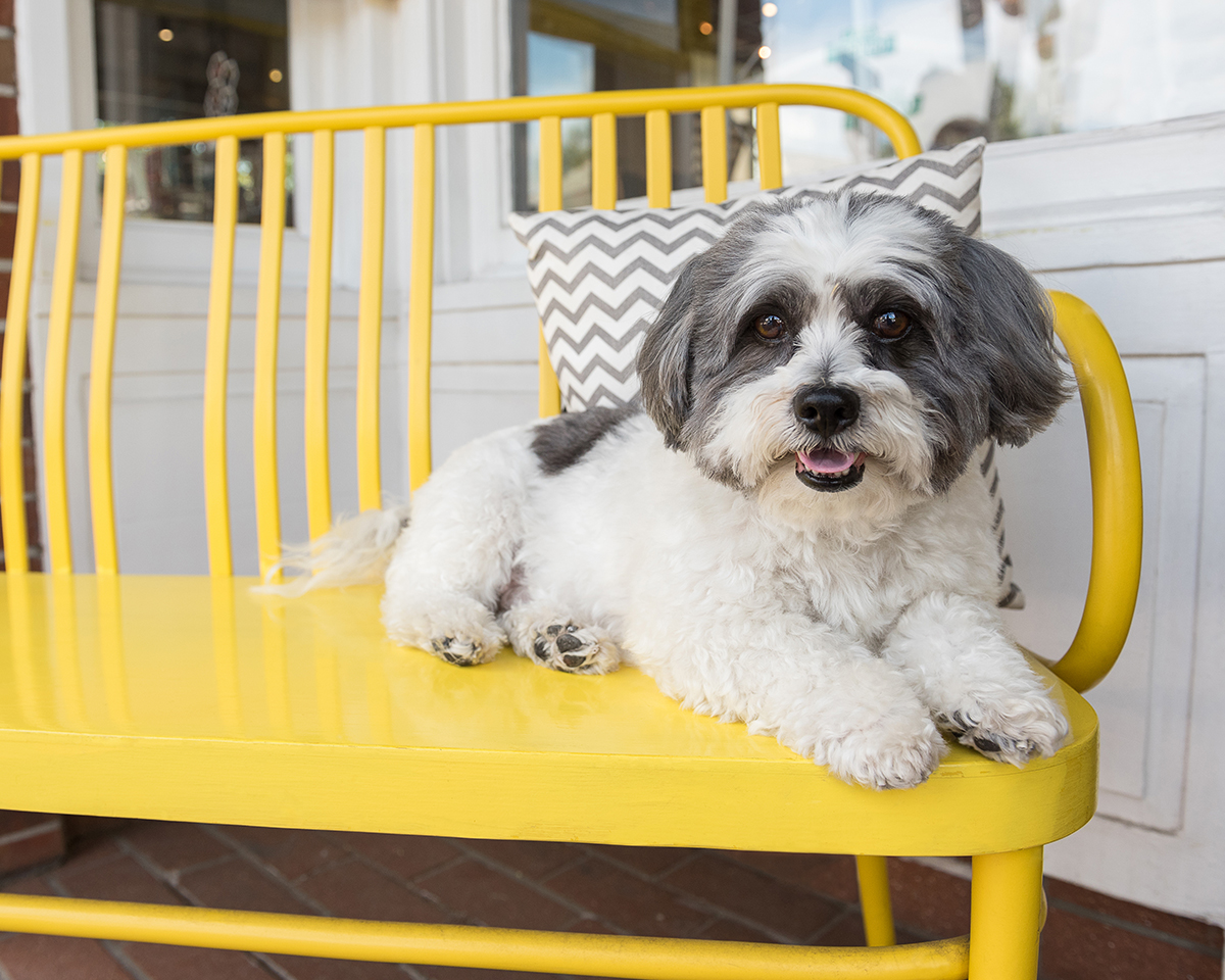 bichon frise shih-tzu mix dog on yellow bench