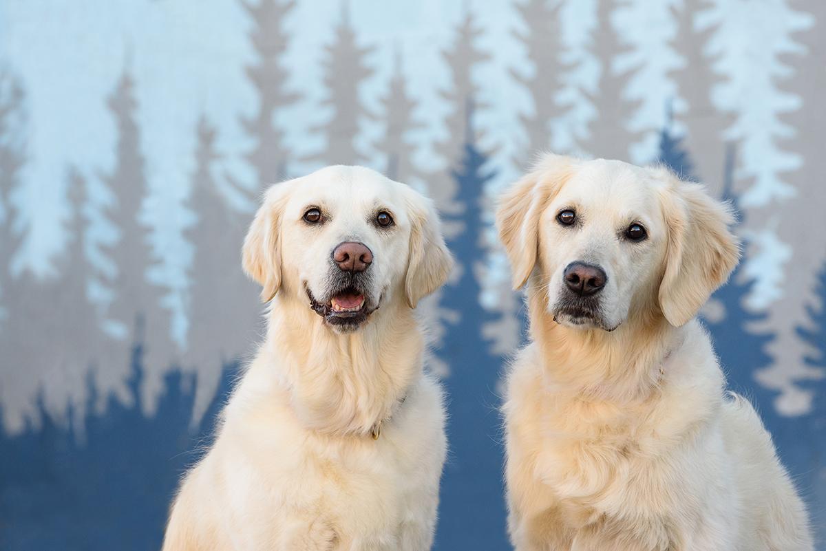 Two English Creme Golden Retriever Dogs