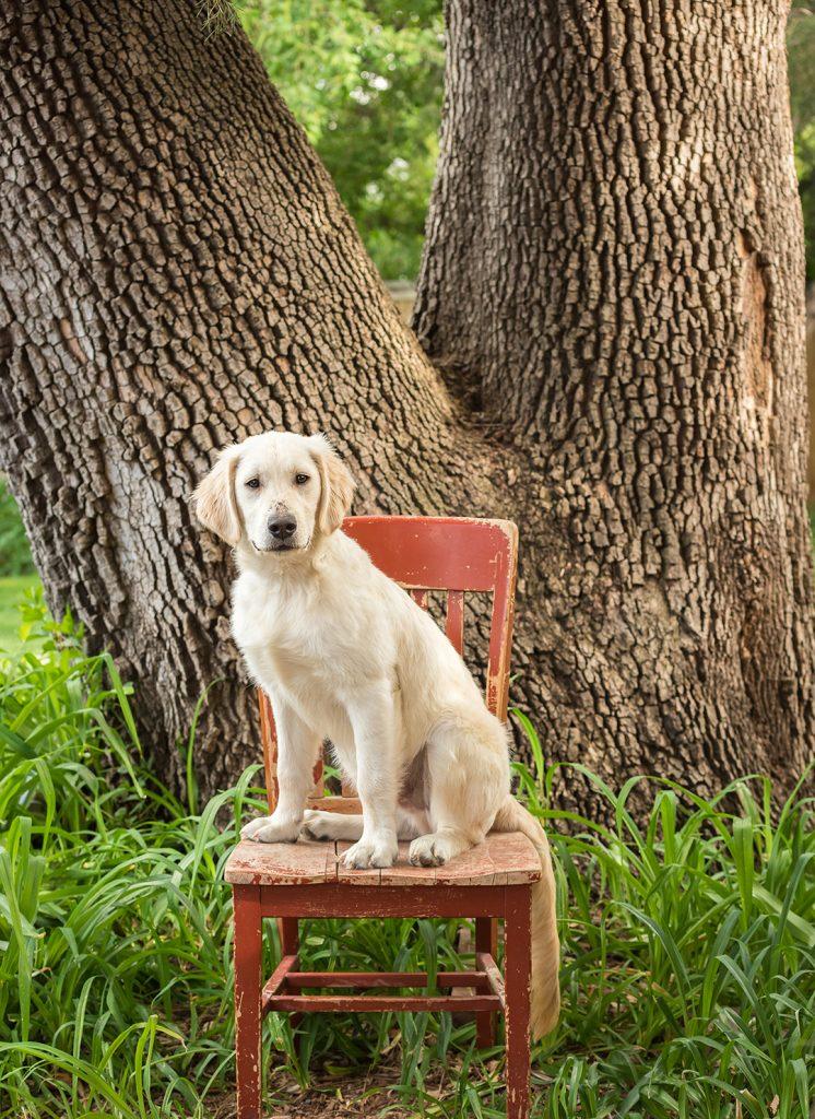 Golden retriever puppy on red chair