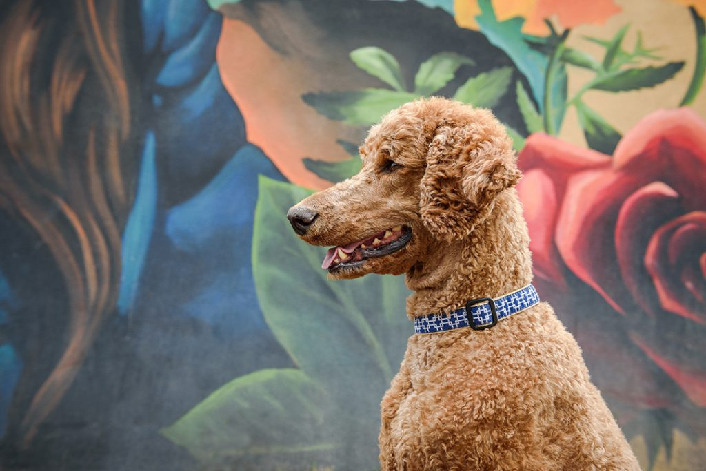 Standard poodle by mural on South Gaylord St Denver