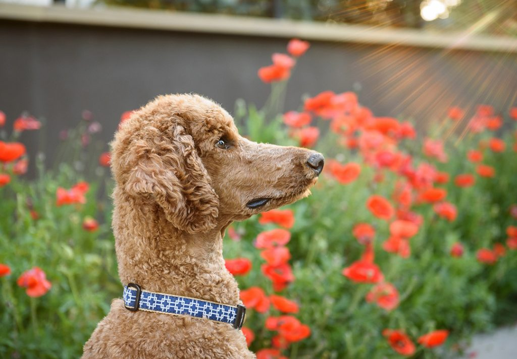 Standard poodle with red poppies