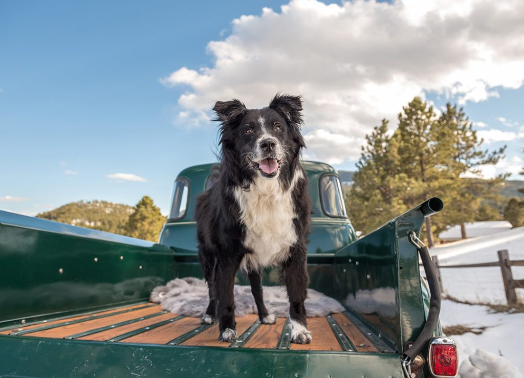 Border collie mix in back of '52 Chevy truck