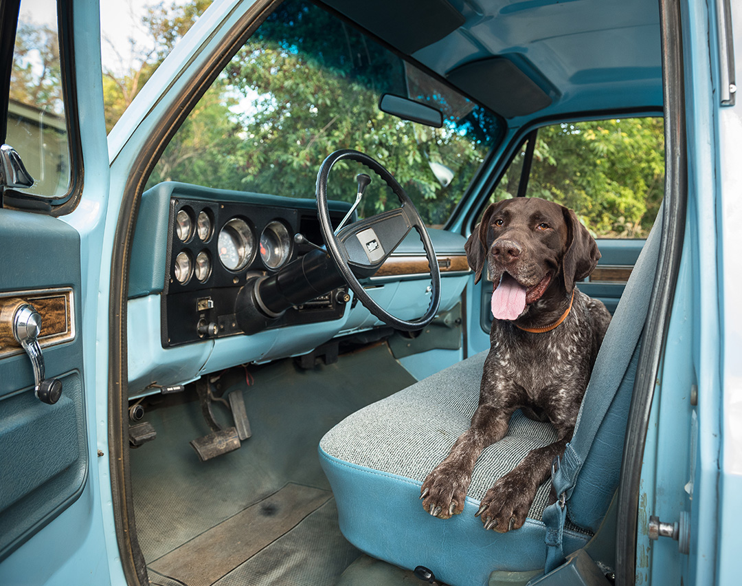 German Shorthair Pointer in cab of 1976 Chevrolet C10 Scottsdale