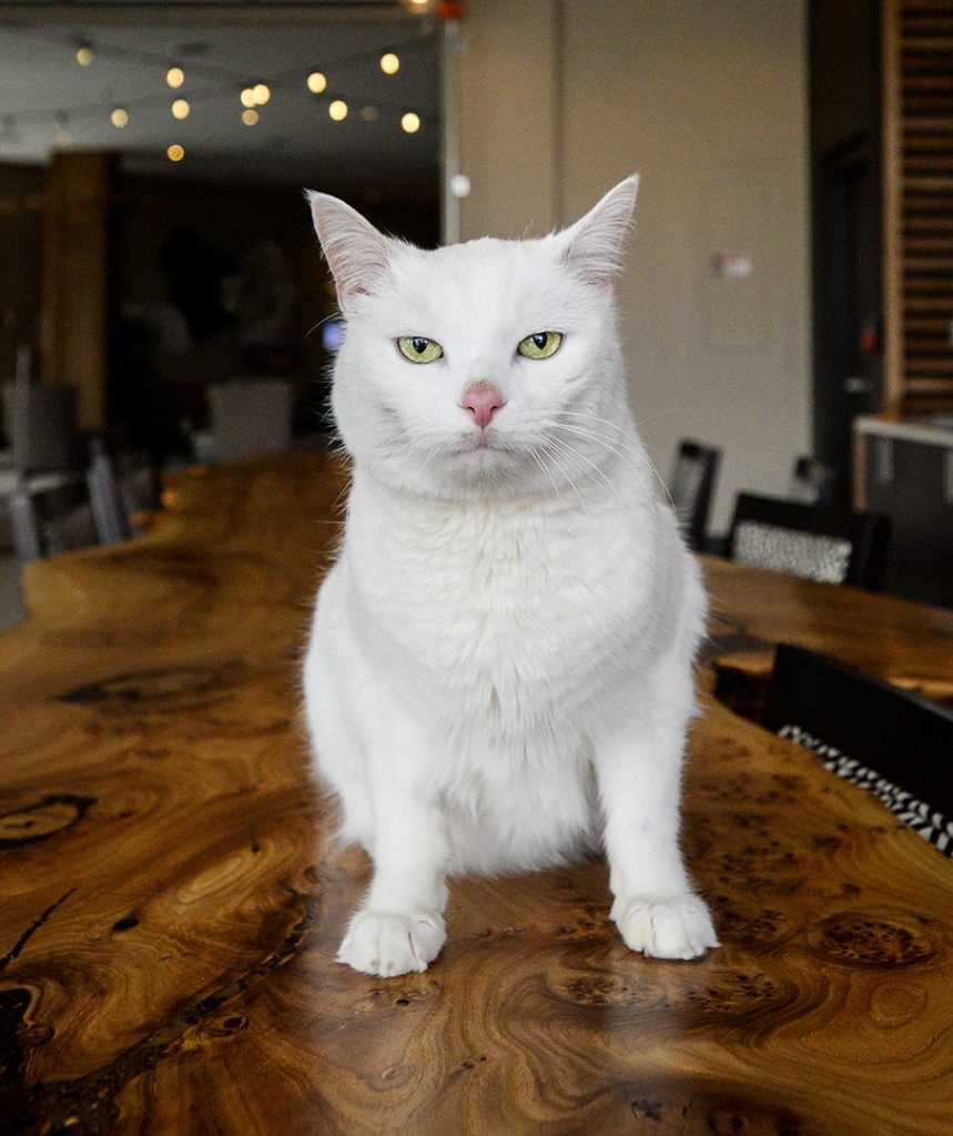 White cat with annoyed look