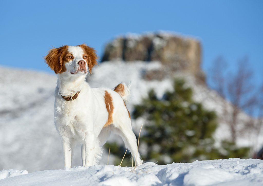 Brittany Spaniel dog in snow in Golden, CO