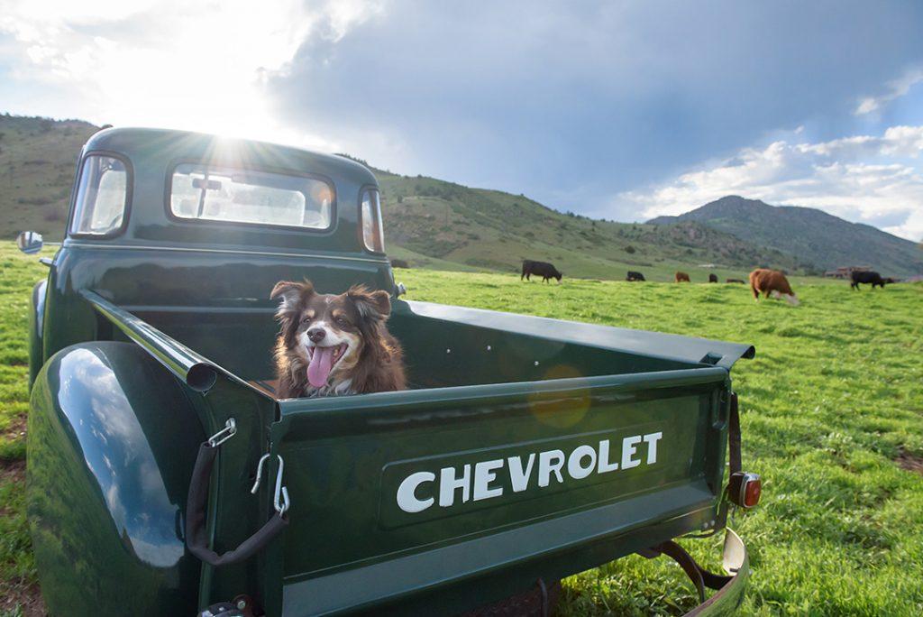Mini Aussie dog Morrison Colorado