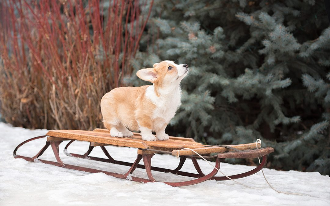 Corgi puppy on snow sled in winter