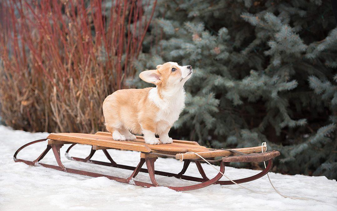 Corgi puppy on snow sled in winter