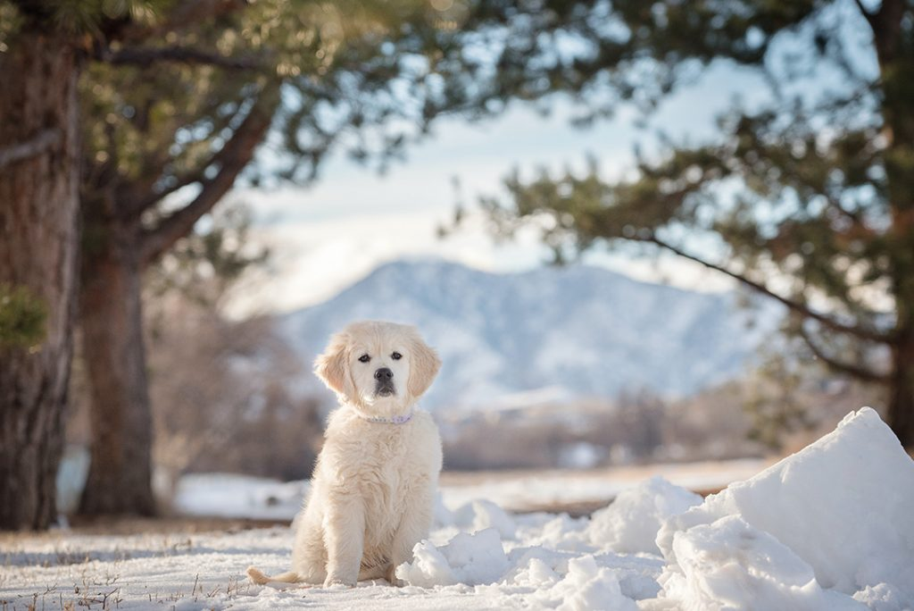 Golden Retriever puppy with mountain view in Lakewood, CO