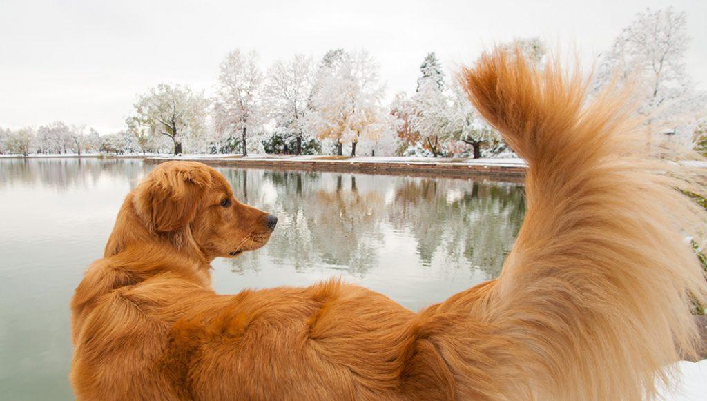 Golden Retriever dog by lake at Washington Park, Denver