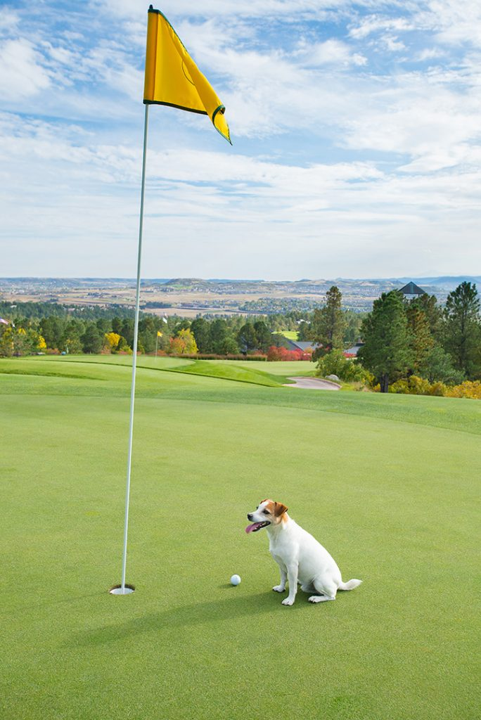 Jack Russell dog on golf course