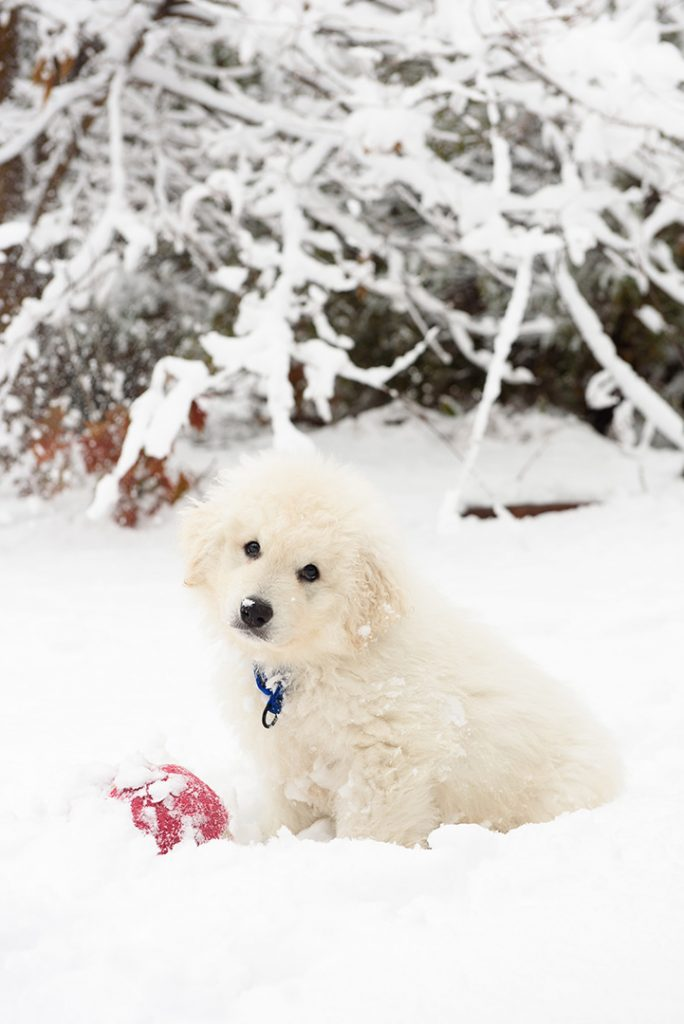 Kuvasz puppy in snow