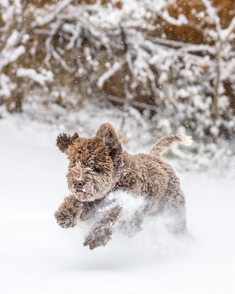 Lagotto Romagnolo puppy running in snow
