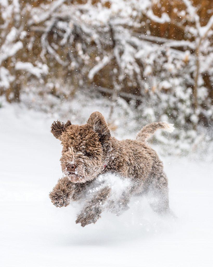 Lagotto Romagnolo puppy running in snow