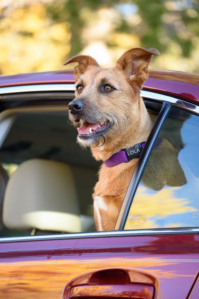 Yellow dog in back seat of car with head out window