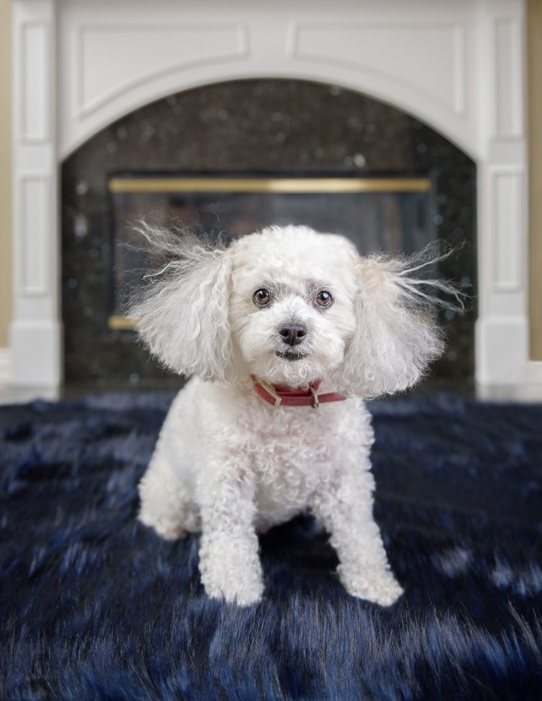 Shichon dog with frizzy hair