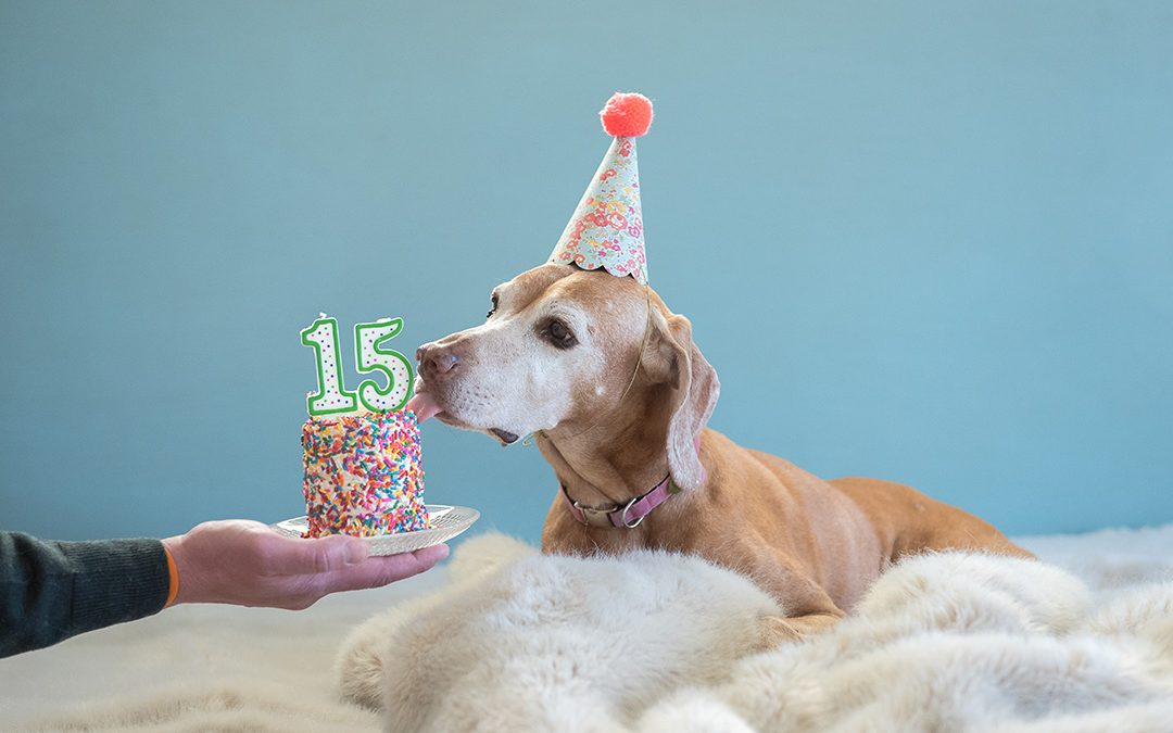 Older Dog senior vizsla dog with cake