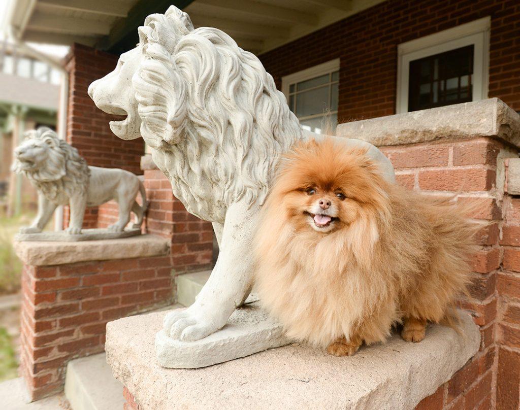 Pomeranian dog on porch by lion statue
