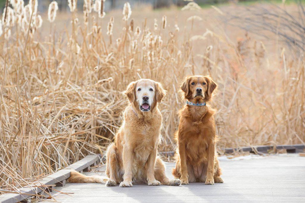 off-season dog photos on boardwalk featuring older dog golden Retriever dog