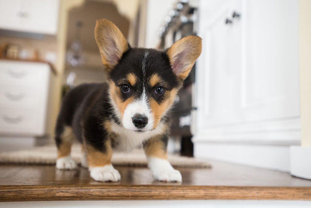 Puppy photography example of Corgi