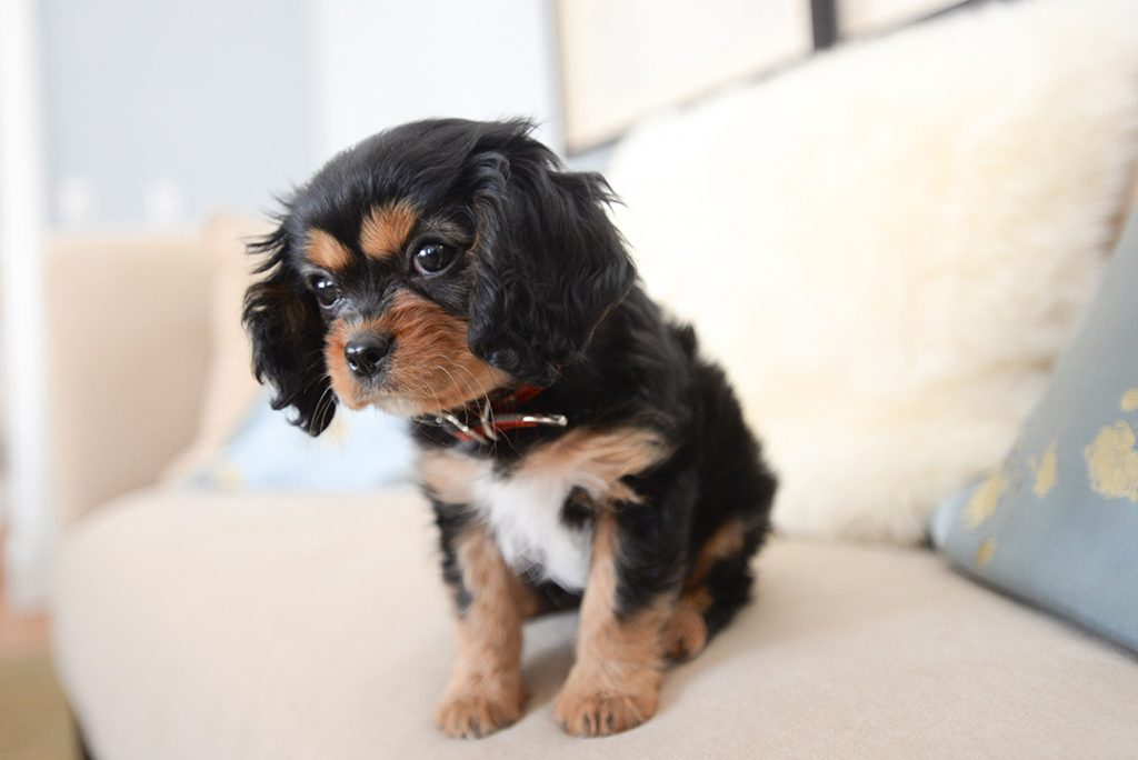 King Charles Spaniel portrait to demonstrate puppy photography