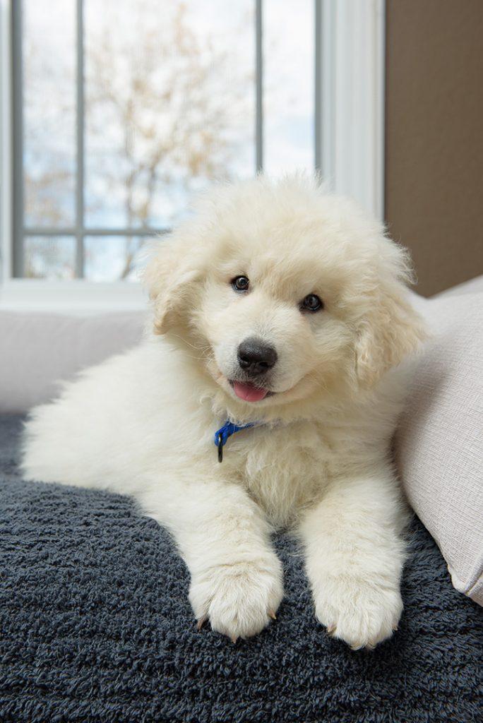 Cute Kuvasz Puppy