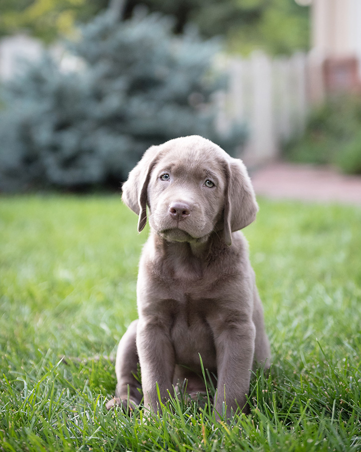 Cute Silver Lab Puppy