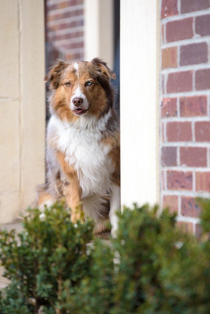 Australian Shepherd Dog on front porch