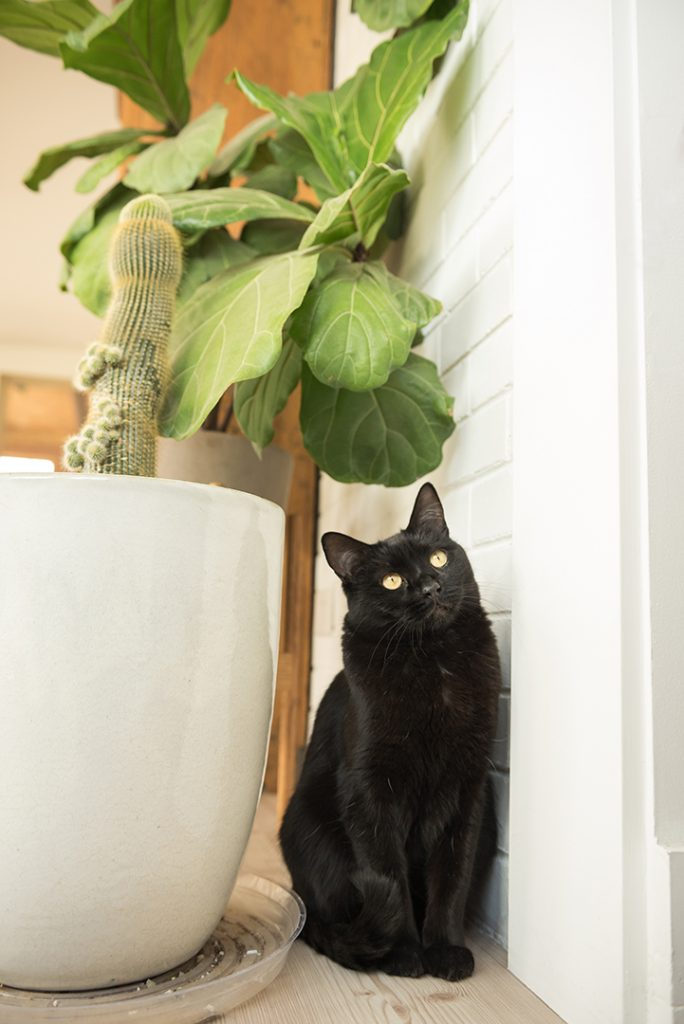 Black cat by Fiddleleaf Fig plant illustrating a post on photographing black cats